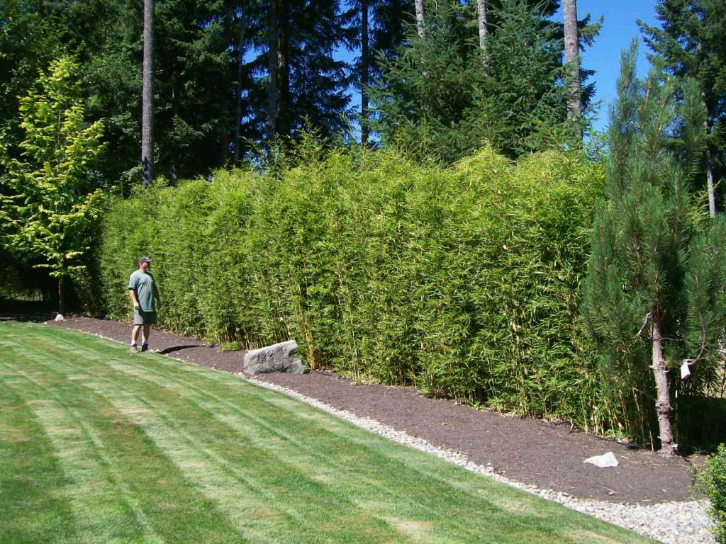 how to grow a dense hedge with black wattles